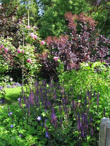 Gartensalbei – Salvia nemorosa ´Caradonna`